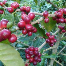 Fructe de Cafea Colombian Supremo