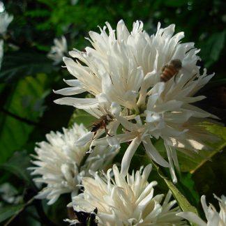 Floare de cafea cu albina