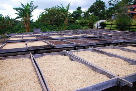 Paturi suspendate uscare cafea Santa Clara