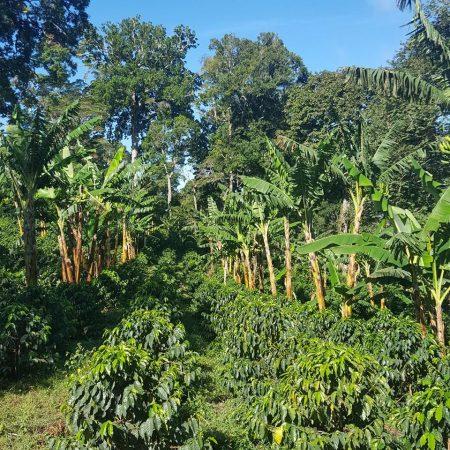 Plantatie de Cafea Santa Clara