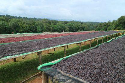 Cafea-Procesare-Naturala-Ethiopia-Stagii-Uscare