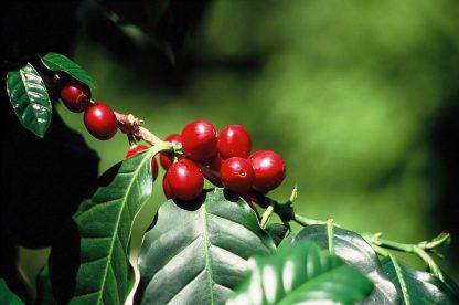 Fructe Coapte de Cafea Costa Rica Los Lobos