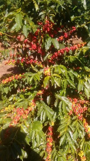 Coffee Tree Coffee Fruits Sitio Taruma