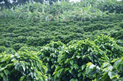 Coffee Plantation Sitio Taruma