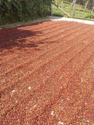 Natural-Processed-Zelaya-Coffee
